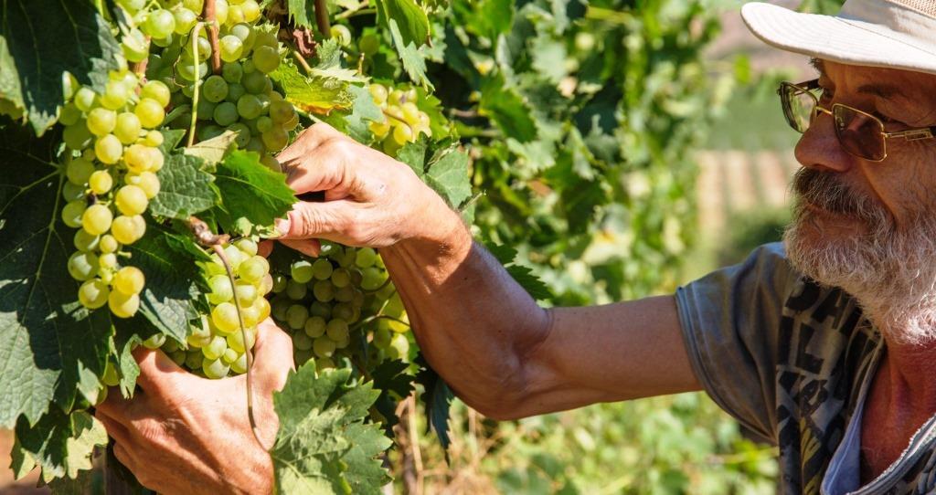 Logodaj-grapes-picking